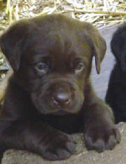 favoritepuppies/Snickers5weeks.jpg