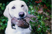 workingretrievers/Shellquail.jpg